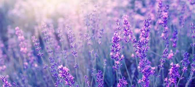 Bach Flower Remedies. Lavender Field Hero